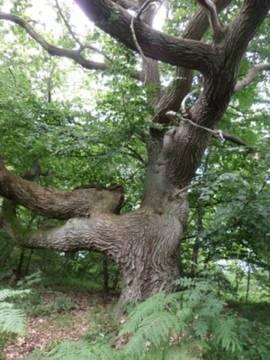 alte, markante  Eiche im Eichen-Buchen-Mischwald
